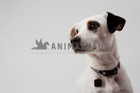 cute black and white mutt with eye patch in studio with negative space and white background
