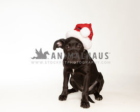 Young black puppy on black background in studio wearing santa hat