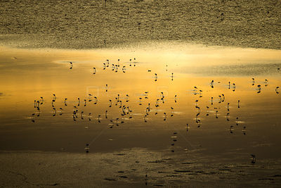 Aerial view of Lesser flamingo (Phoeniconaias minor) flock on water at sunrise, Lake Magadi, Kenya.