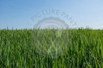 Crop in a field