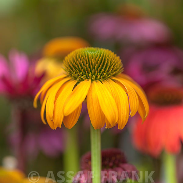 Colorful Cone flower