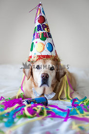 senior labrador with happy birthday hat and colourful streamers