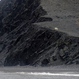 Polar bear (Ursus marinus) in distance, on cliffs above sea, Wrangel Island, Far Eastern Russia, September.