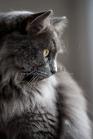 Elegant long coated grey cat with green eyes portrait with side light