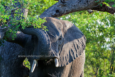 African Elephant- Kruger National park - South Africa