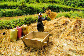 Harvesting Rice by Banging Bundles of Stalks into Wooden Box
