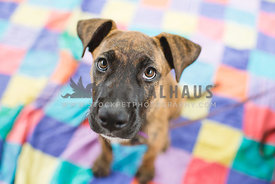 Brindle puppy with big eyes on brightly coloured rug