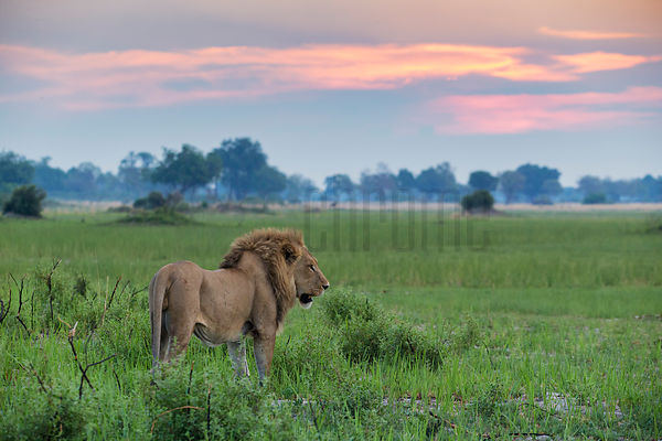 Adult Male Lion Surveys his Domain at Dusk