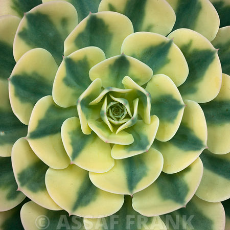 Close up of Echeveria