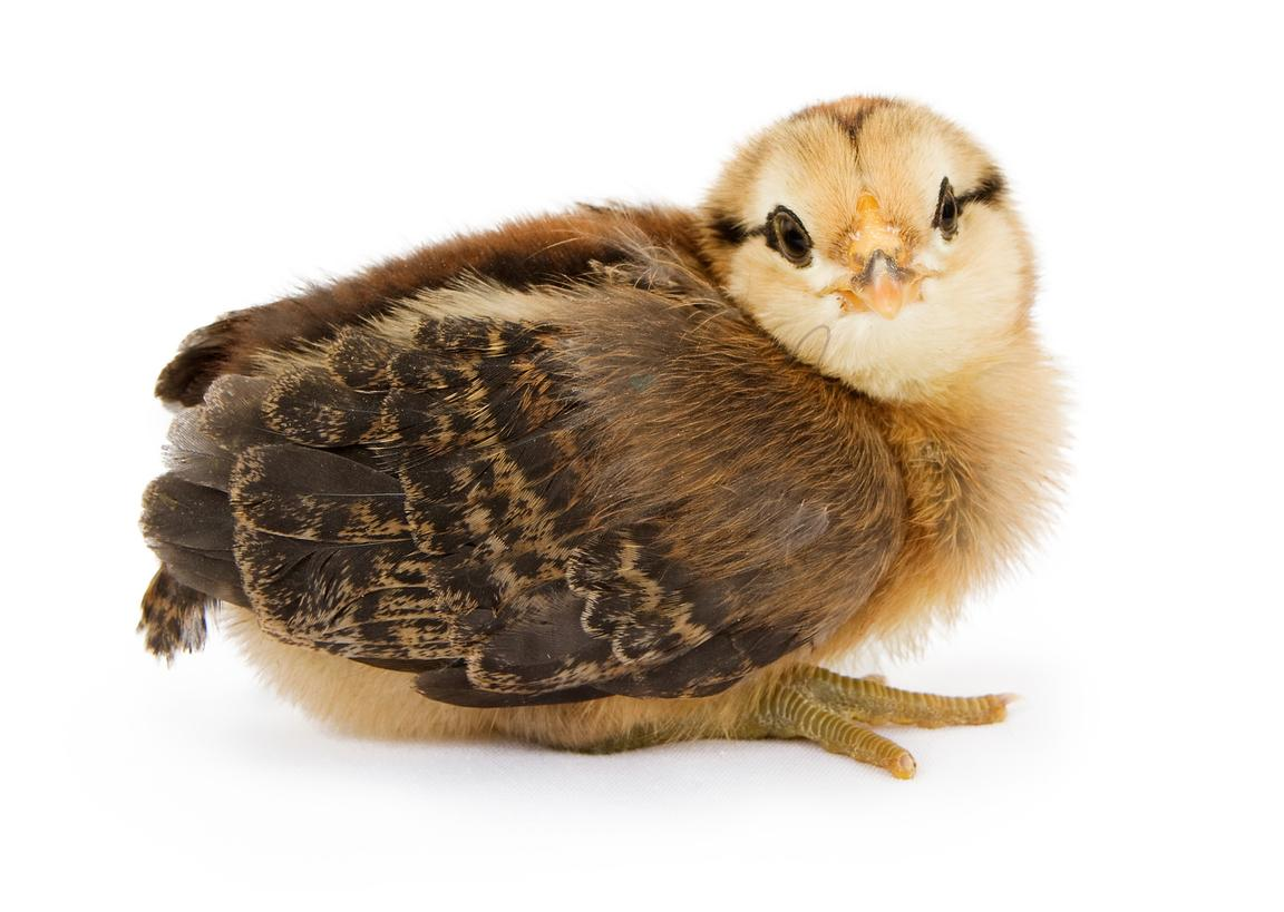 A baby brown and yellow chicken