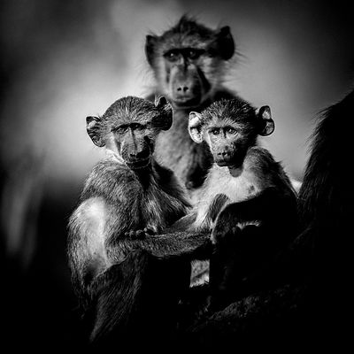 7619-Two_baby_baboons_Botswana_2009_Laurent_Baheux