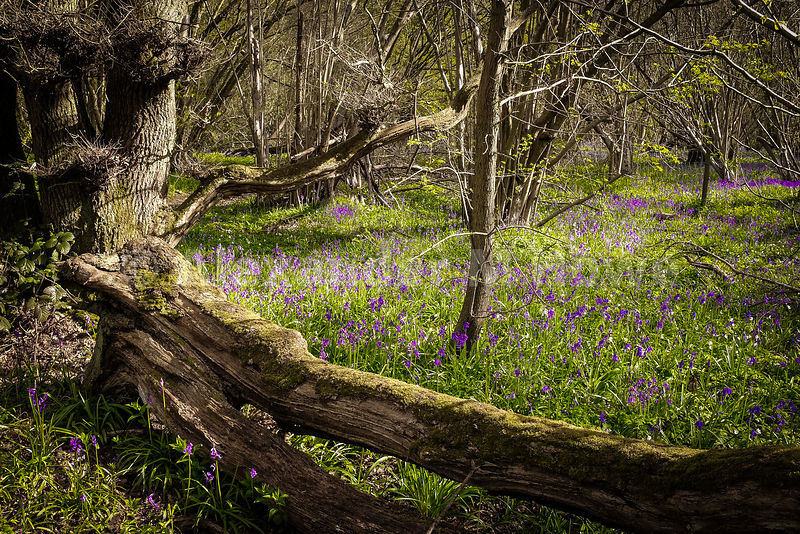 Fallen tree on a Bluebell Wood on a Sunny Day