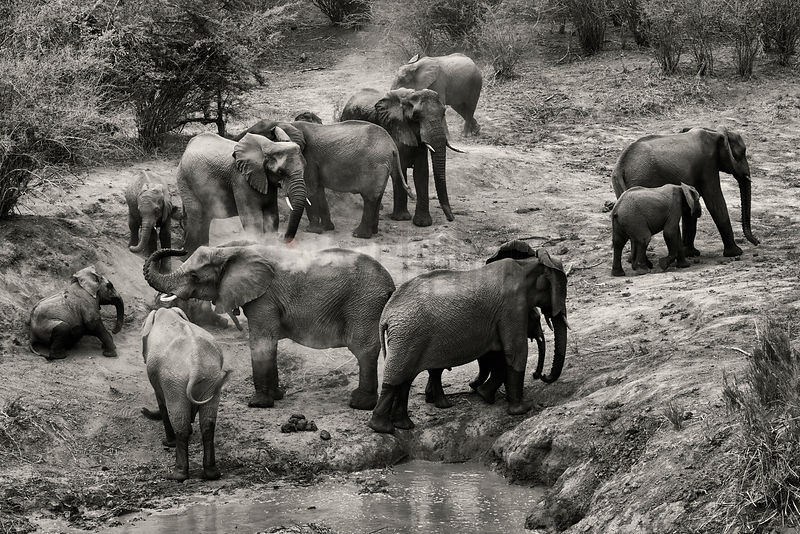 Elephants Dust Bathing at a Waterhole