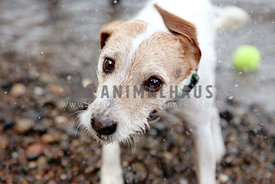 jack russell shaking off water on the beach