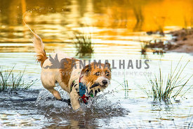 Jack Russell running out of the water, wearing a blue bandana with stick in his mouth
