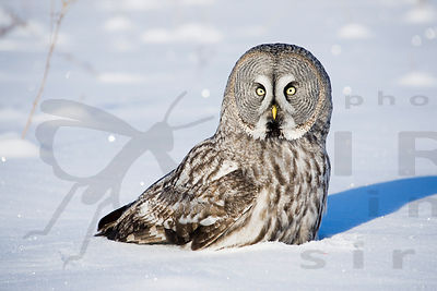 The Great Grey Owl Has Catch Mole from Snow