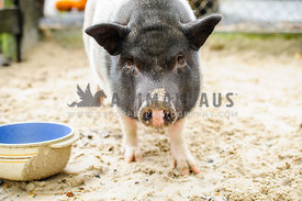black and white potbelly pig in sand