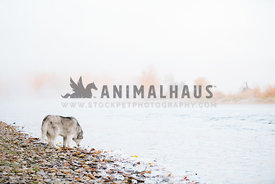 siberian husky drinking from river on foggy fall day