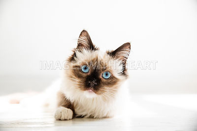 Ragdoll Cat with White Background