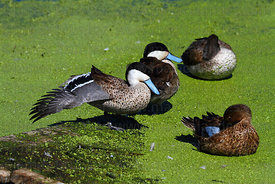 Puna teal (Anas puna) stretching wing to show speculum