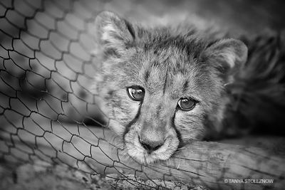 Captive Baby Cheetah