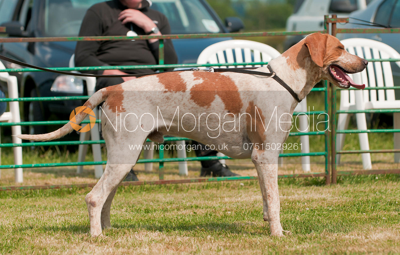 Cottesmore Whopper, Champion Dog Hound, The Blaston Hound Show 2010