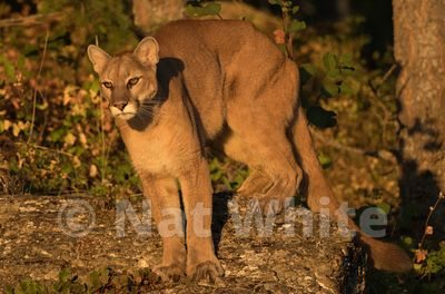 Cougar-Triple_D_wildlife-22017-170-July_31_2017