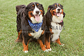 two bernese mountain dogs in grass