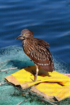 Juvenile black crowned night heron (Nycticorax nycticorax hoactli) on fishing boat