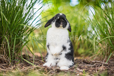 Holland Lop Bunny Standing in grass