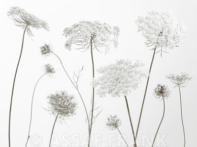 Cow parsley flowers on coloured background