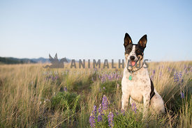 happy mixed breed dog sitting in mountain meadow with wildflowers