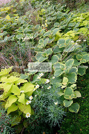Couvre-sol, Association, Talinum paniculatum Limon Verde (Bihoux d'Ophar), Jewels of Opar, Pink baby's breath, Synonyme Clayt...