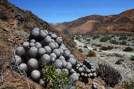 Copiapoa cactus (Copiapoa dealbata var. carrizalensis) growing on hillside in valley, Llanos de Challe National Park , Region...