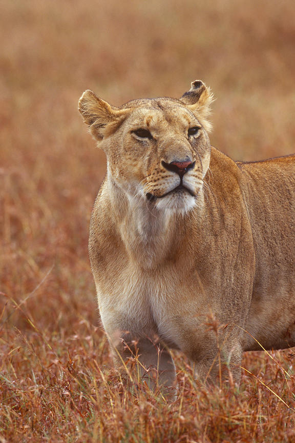 Portrait of an Alert Lioness