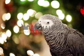 African grey parrot in front of holiday tree