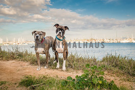 Two brindle Boxer mix dogs standing on edge of harbor