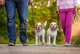 two beagles walking with owners