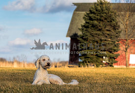 Calm junior  golden doodle dog lying peacefully on the field in front of a barn.