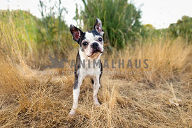 Curious boston terrier tilting head