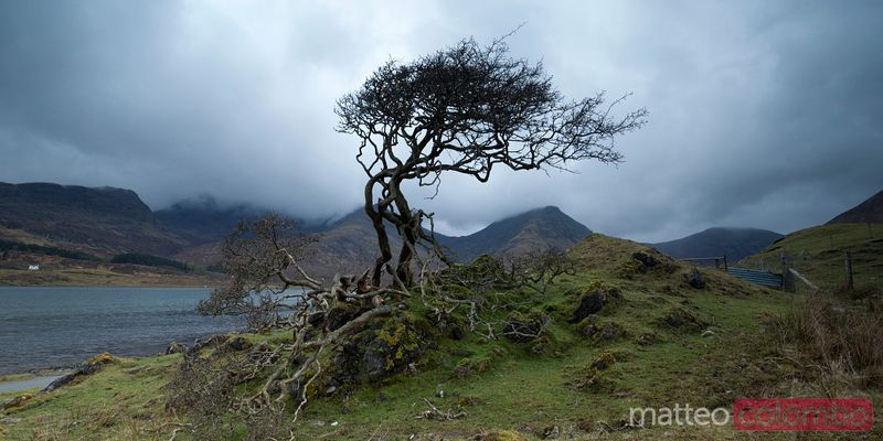 Single tree curved by the wind Scotland UK