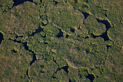 Reed (Phragmites australis) Island from above (aerial view), Danube Delta, Romania, June.. June.
