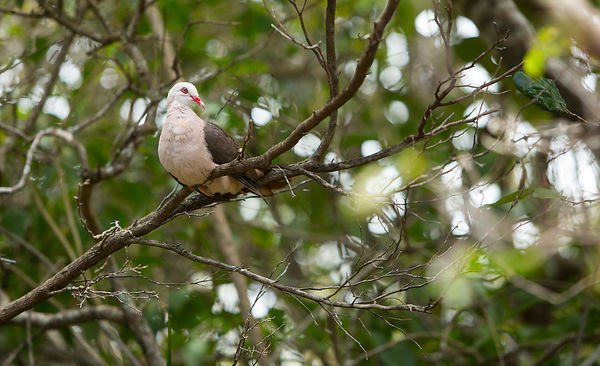 The Pink Pigeon - brought back from extinction by the MWF and the DWCT