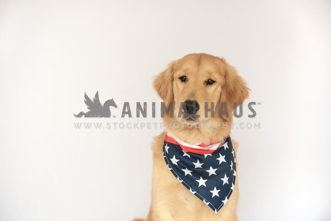 close up of serious looking golden retriever wearing an American flag bandana