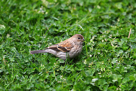Female Plain-coloured seedeater ( Catamenia inornata )