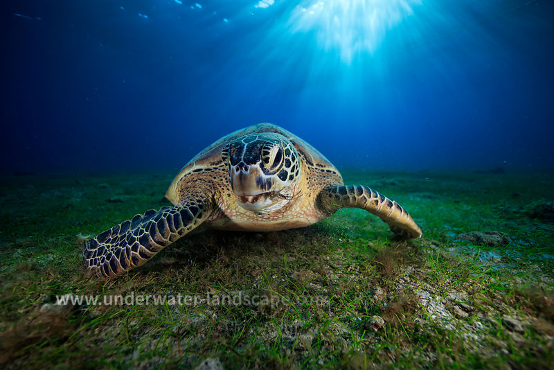 Green turtle-sea turtle