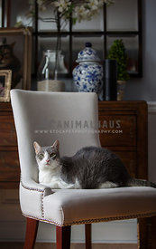 Grey and White Cat in a chair