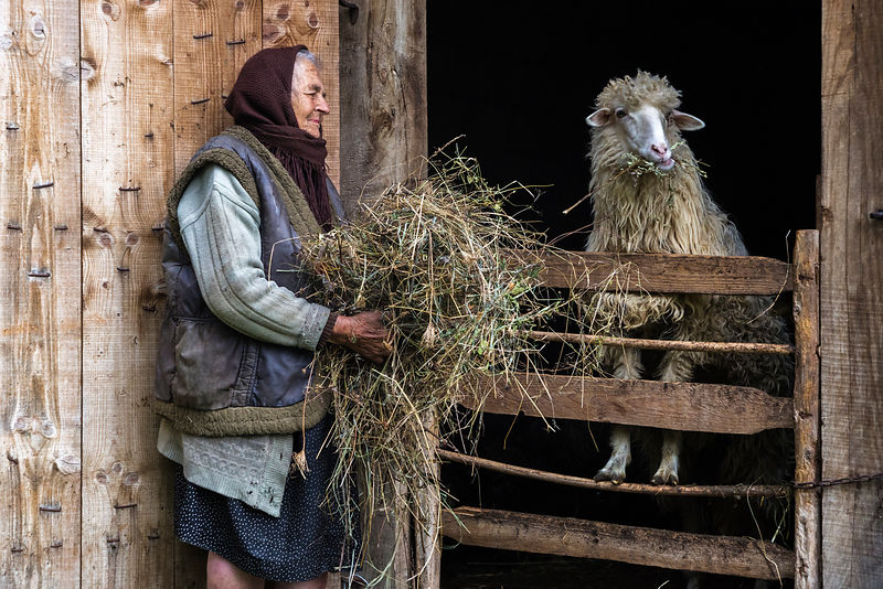 Maria Feeding Grass to a Sheep in a Barn