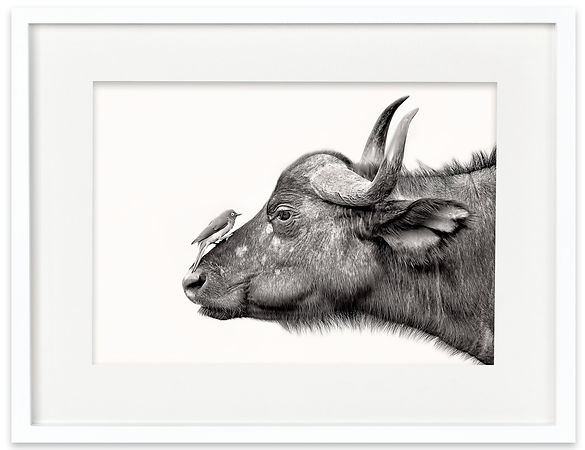 Cape Buffalo and Oxpecker | Africa on White