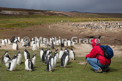 Juvenile Gentoo Penguins (Pygoscelis papua papua) have an encounter with Tom, Volunteer Point, East Falkland, Falkland Islands